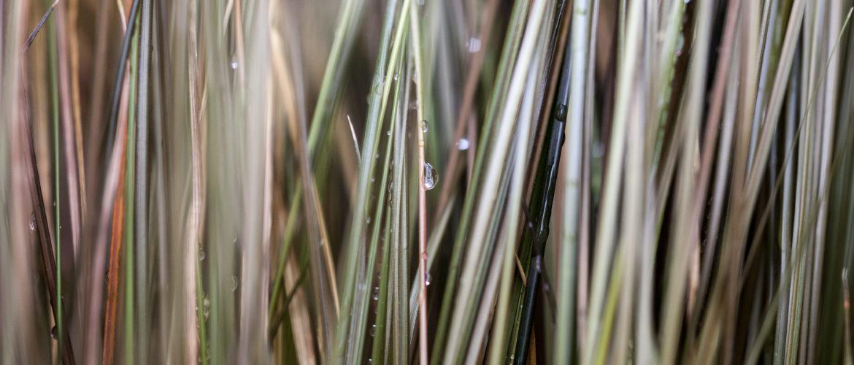 groft græs